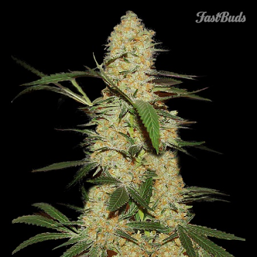FastBuds Seeds Grapefruit'matic Auto Feminised (PICK N MIX)