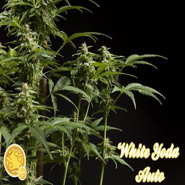 Philosopher Seeds White Yoda Auto Feminized