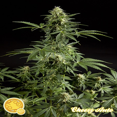 Philosopher Seeds Cheesy Auto Feminized