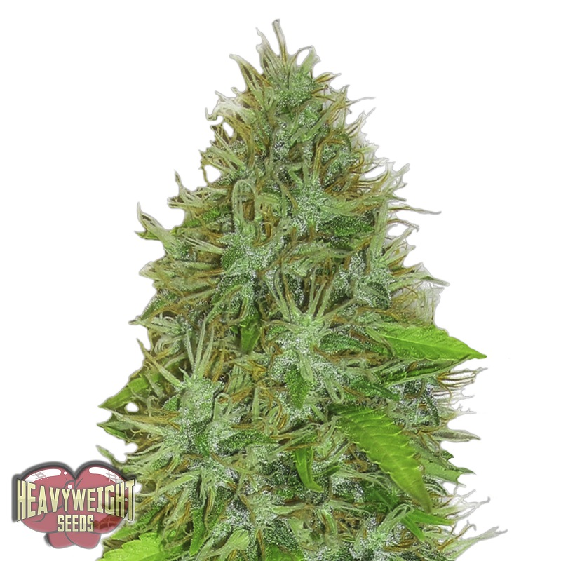 Heavyweight Seeds 2 Fast 2 Vast Auto Feminized