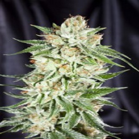 Elemental Seeds 5th Element Feminized