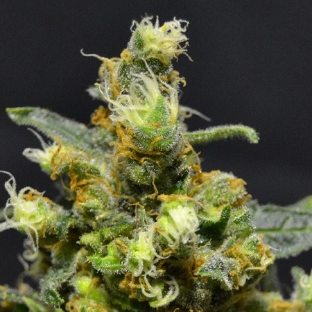710 Genetics Seeds Shellshock Feminised