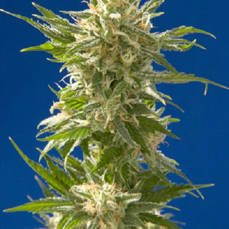 Spliff Seeds AK Regular (Silver)