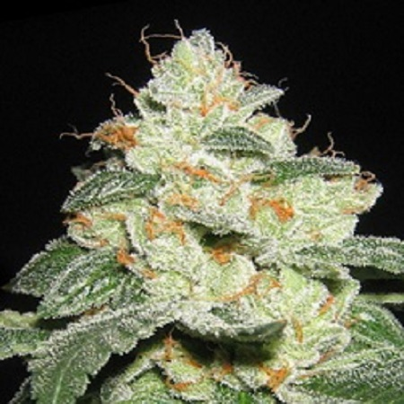 Apothecary Genetics Seeds SFV OG Regular