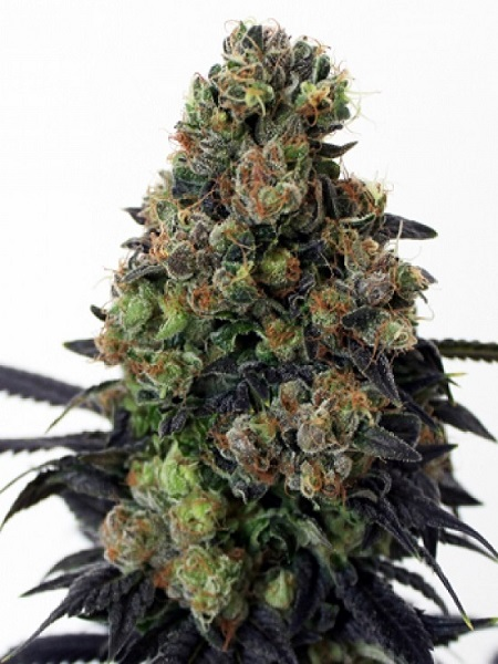 Ripper Seeds Acid Dough Feminized