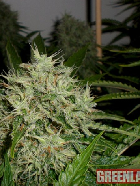 Green Label Seeds AK Widow 47 Feminised