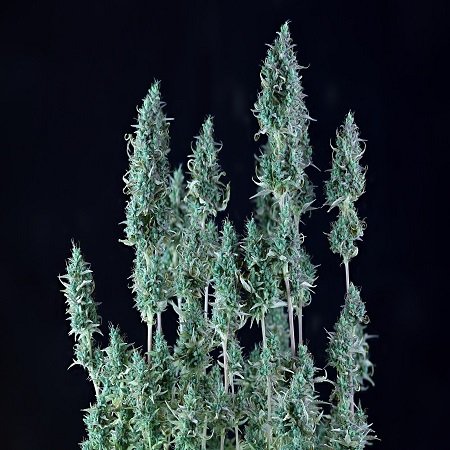 Alaskan Purple Auto - Feminized - Seedsman Seeds