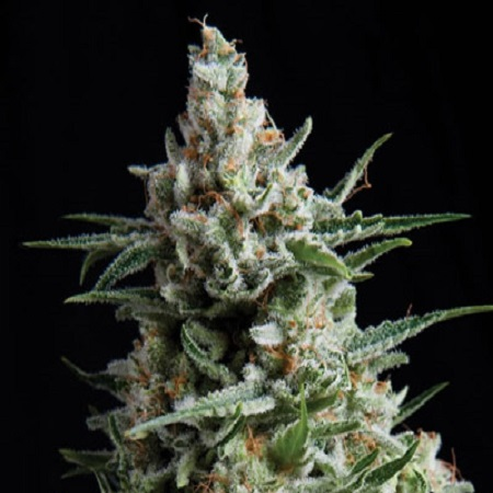 Pyramid Seeds Anesthesia Feminized