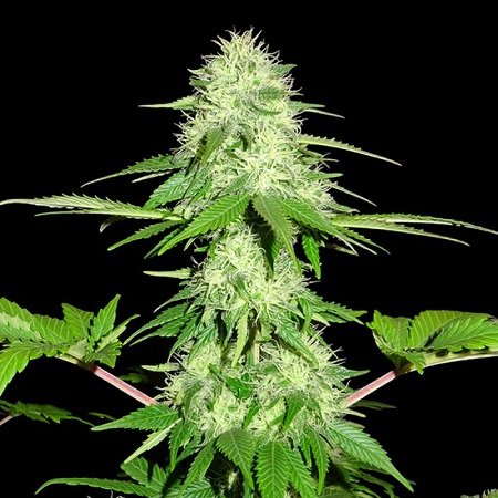 Sumo Seeds Appleberry Feminized