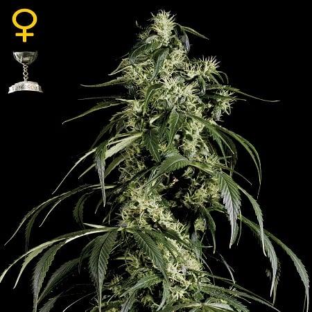Green House Seeds Arjans Haze #1 Feminised