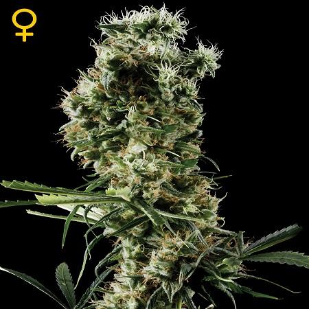 Green House Seeds Arjan's Haze #2 Feminised