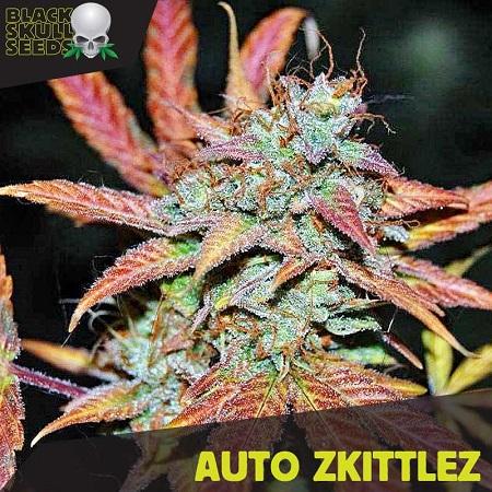 Auto Zkittlez - Feminized - Black Skull Seeds