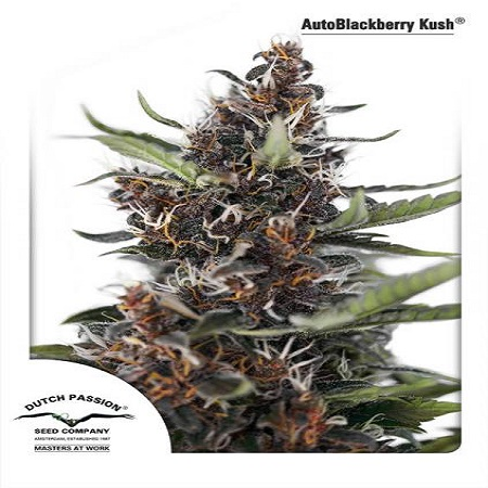 Dutch Passion Seeds AutoBlackberry Kush Feminised