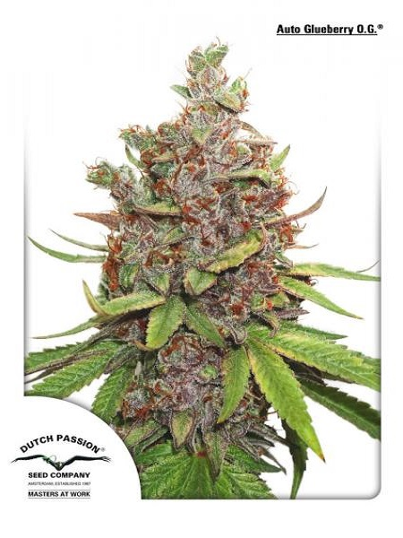 Dutch Passion Seeds Auto Glueberry O.G. Feminized