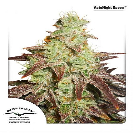 Dutch Passion Seeds AutoNight Queen Feminized