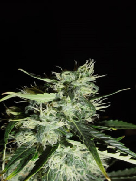 Green Label Seeds Automatic Widow Feminised