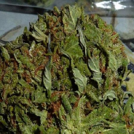 BC Bud Depot Seeds BC Pinewarp Regular