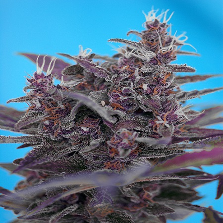 Sweet Seeds Black Cream Auto Feminized