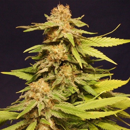 Big Bull - Feminized - Kannabia