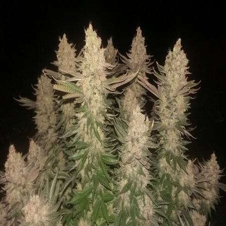 Black Sugar - Feminized - Seedsman