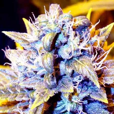 SuperCBDx Seeds Black Kush x SCBDx Feminized