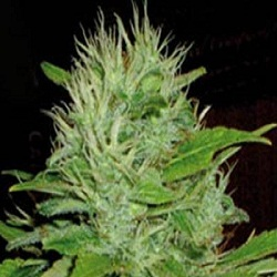 BlimBurn Seeds Mango Feminized