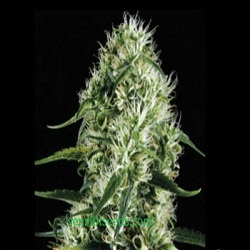 BlimBurn Seeds Silver Surf Haze Feminized