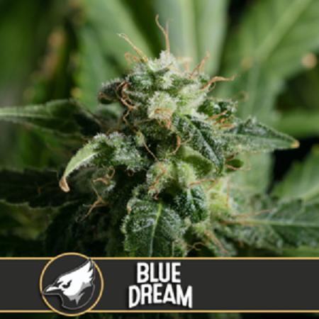 Blue Dream - Feminized - Blimburn Seeds