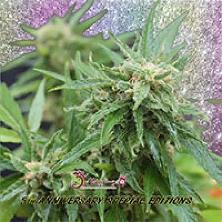 Dr Krippling Seeds Blue Tease Auto Feminized