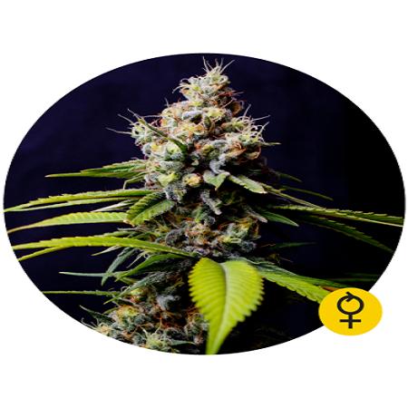 Blueberry 420 Auto - Feminized - Bulldog Seeds