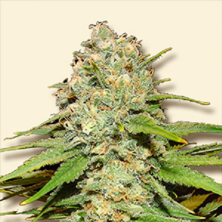 Bulk Seeds Blueberry Feminized