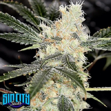 Sin City Seeds Bora Bora Feminized