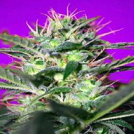 Sweet Seeds Botafumeiros Feminized