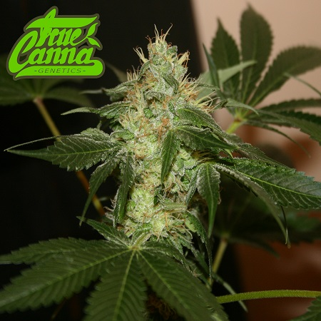 True Canna Genetics Broad Leaf Black Regular