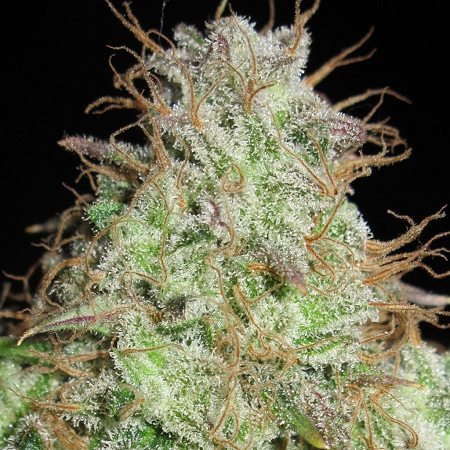 Ultra Genetics Seeds Cookie Balboa Regular