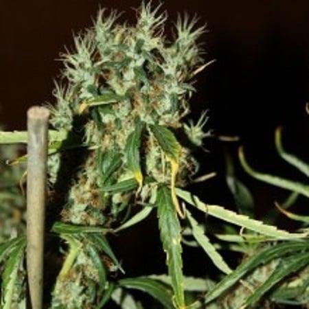 CBD Crew Seeds CBD Mango Haze Feminized