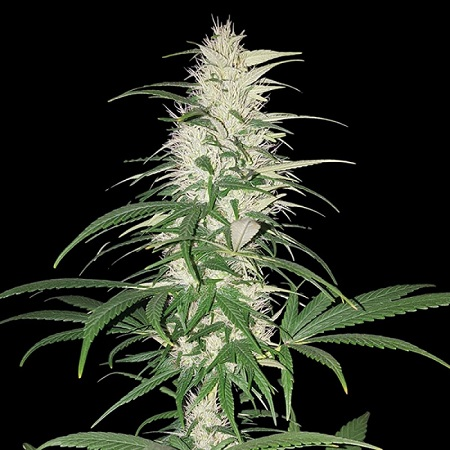 Sumo Seeds CBD Cherry Kush Feminized