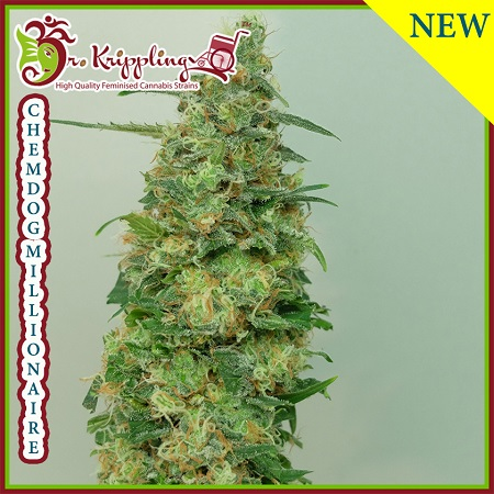 Dr Krippling Seeds Chemdog Millionaire Feminized (PICK N MIX)
