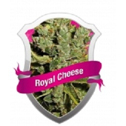 Royal Queen Seeds Royal Cheese (Fast Version) Feminized (PICK N MIX)