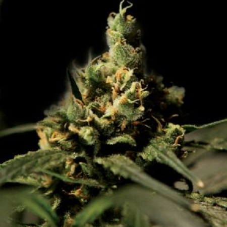 Bulldog Seeds Citral Skunk Feminized