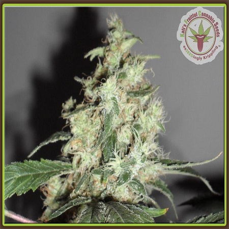Dr Krippling Seeds Cheesy Mist Tree Feminized