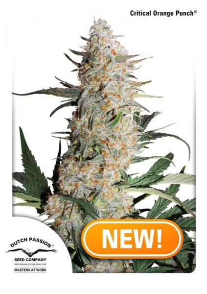 Dutch Passion Seeds Critical Orange Punch Feminized