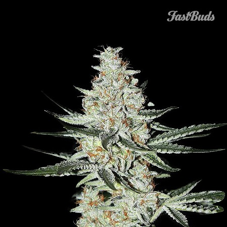 FastBuds Seeds Californian Snow Auto Feminized (PICK N MIX)