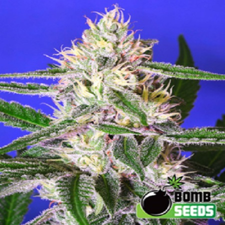 Bomb Seeds Edam Bomb Regular