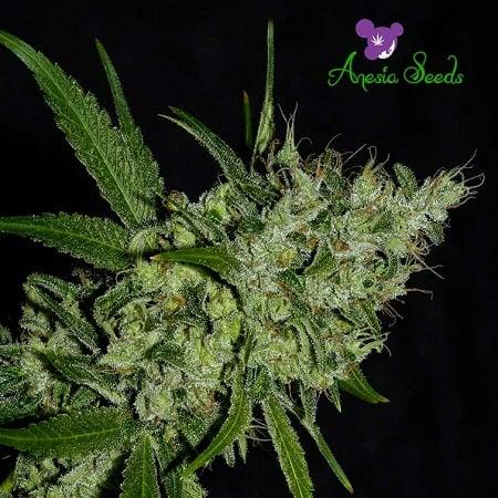 Chemdog - Feminized - Anesia Seeds