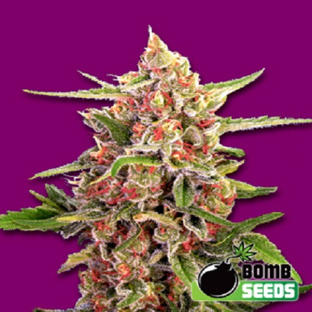 Bomb Seeds Cherry Bomb Feminized