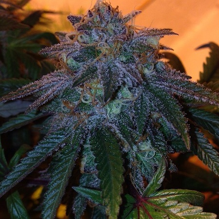 Dankonomics Genetics Seeds Chocolate Stardawg Regular