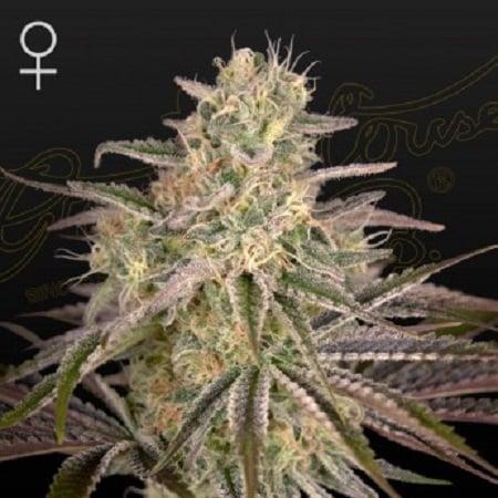Cloud Walker - Feminized - Green House Seed Co