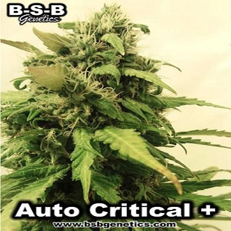 Critical + Auto - Feminized - BSB Genetics