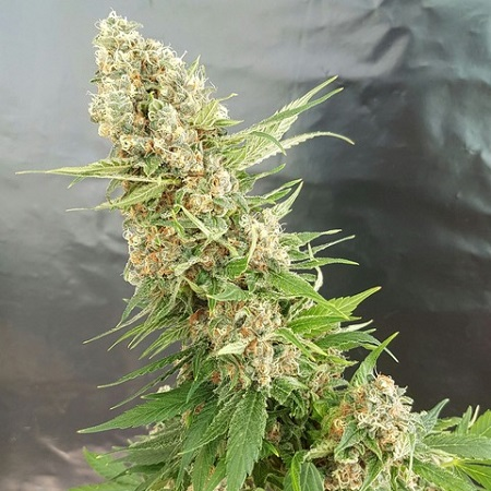 Expert Seeds Gorilla Critical Feminized (PICK N MIX)